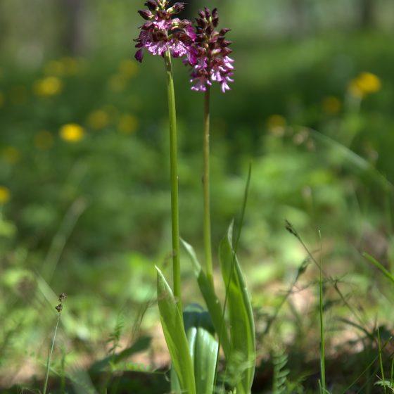 Orchidee spontanee (1)