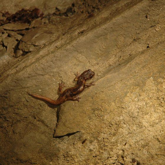Geotritone Grotta della Tabussa